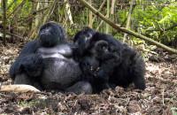 Mgahinga Gorilla National Park gorillas