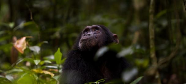 Chimpanzee tracking in Kibale (5)