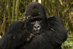gorilla in Bwindi