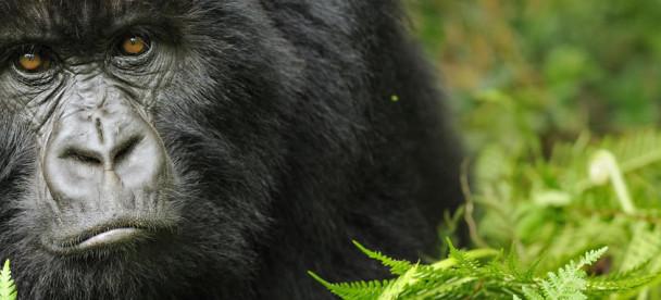 mountain-gorilla