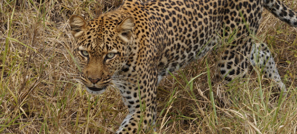 Game drive and Game Viewing in Uganda (8)