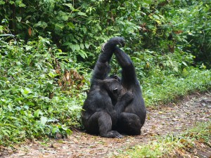 Chimpanzee tracking in Kibale (2)