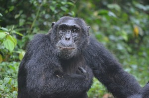 Chimpanzee tracking in Kibale (3)