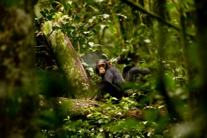 Chimpanzee tracking in Kibale (6)