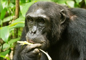 Chimpanzee tracking in Kibale (7)