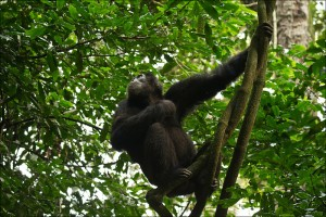 Chimpanzee tracking in Kibale (8)