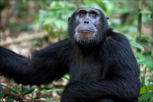 Chimpanzee tracking in Kibale (9)