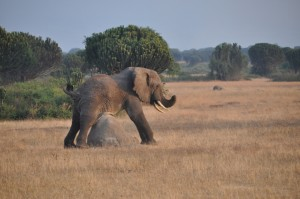Game drive and Game Viewing in Uganda (3)