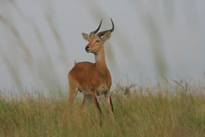 Game drive and Game Viewing in Uganda (5)