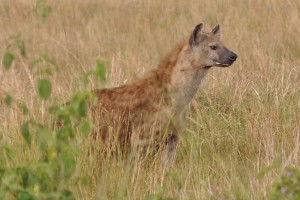 Game drive and Game Viewing in Uganda (7)