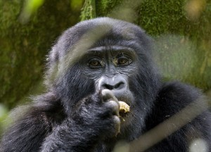 Mountain Gorillas in Bwindi (1)