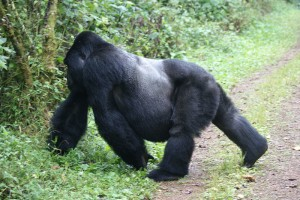 Mountain Gorillas in Bwindi (10)