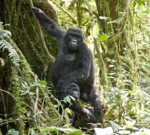 Mountain Gorillas in Bwindi (11)