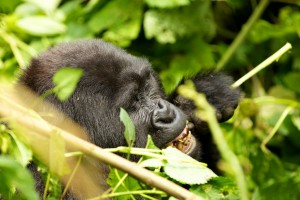 Mountain Gorillas in Bwindi (12)