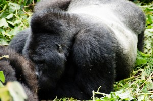 Mountain Gorillas in Bwindi (13)