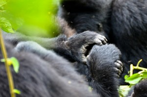 Mountain Gorillas in Bwindi (14)