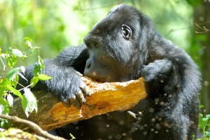 Mountain Gorillas in Bwindi (7)
