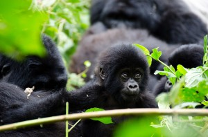 Mountain Gorillas in Bwindi (8)