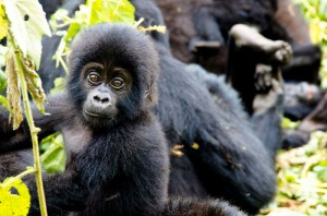 Mountain Gorillas in Bwindi (9)