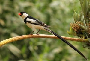 bird watching in Uganda (3)